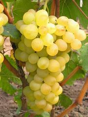 Виноград саженцы столовых сортов