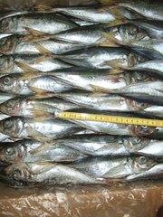 Продажа свежемороженой рыбы Мавритания