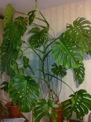 Комнатное растение-Монстера