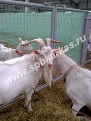 оборудование для содержания молочных коз овец баранов