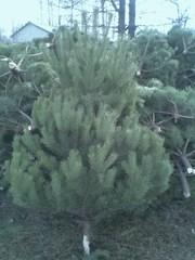 Новогодние елки с доставкой, и без, опт и розница