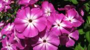 отличные сортовые флоксы и индийские и корейские хризантемы