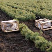 Кедр сибирский 15-20 см - отборные сеянцы