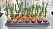 Грядка гидропонная для выращивания лука в домашних условиях