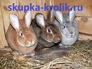 Покупаем шкуры кролика