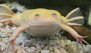 Лягушка шпорцевая