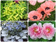 Многолетние садовые цветы почтой(СПб доставка)