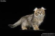 Котята редкой породы американский кёрл!