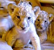 Продам льва,  львенка.
