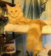 Котята мейн-кун различных окрасов