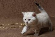 Шотландский котёнок страйт