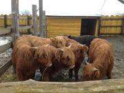 Продам шотландского скота хайленда