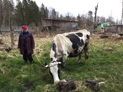 Продается чистопородная корова.