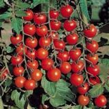Испанские томаты черри оптом