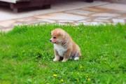 Продается чудный щенок Акиты. Девочка Алиса - 1, 5 мес.