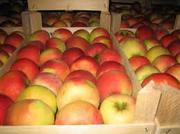 Яблоки калиброванные напрямую со склада.