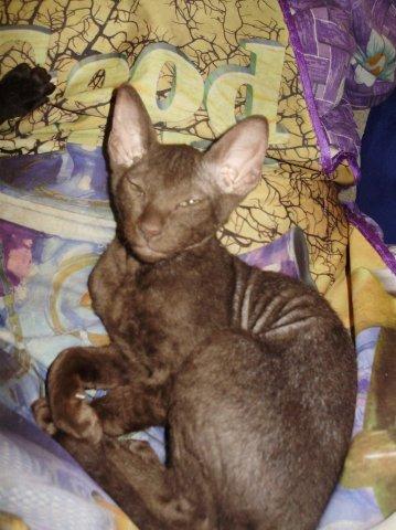 Элитные котята, мальчик черный-игривый, девочка шоколадная (гавана...
