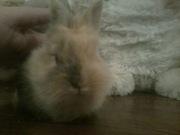 декоративный кролик продам